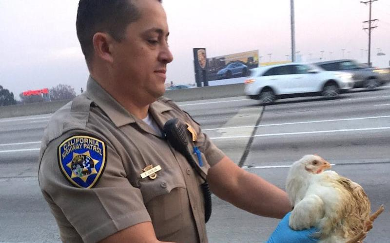 A California Highway Patrol motorcycle officer collects a chicken which blocked a portion of Interstate 605 in the Norwalk area, near Los Angeles - CHP Santa Fe Springs