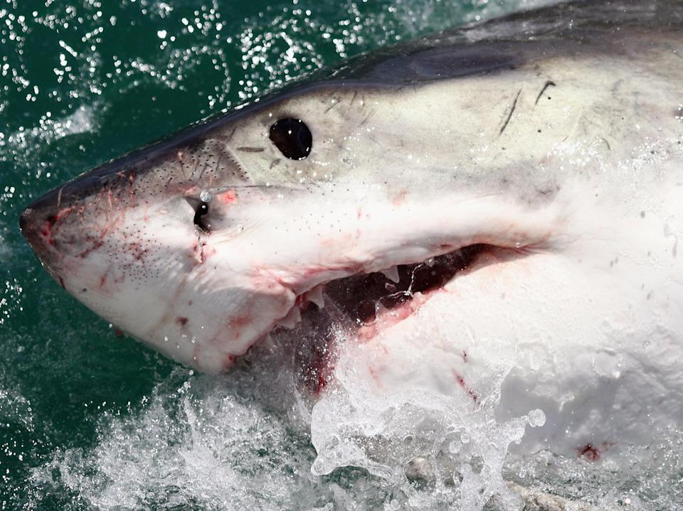 A Great White Shark is attracted by a lure on the 'Shark Lady Adventure Tour' on 19 October 2009 (Getty Images)