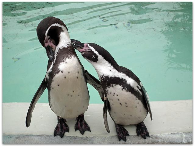Love is...Preening your mate! - Cotswold wildlife Park