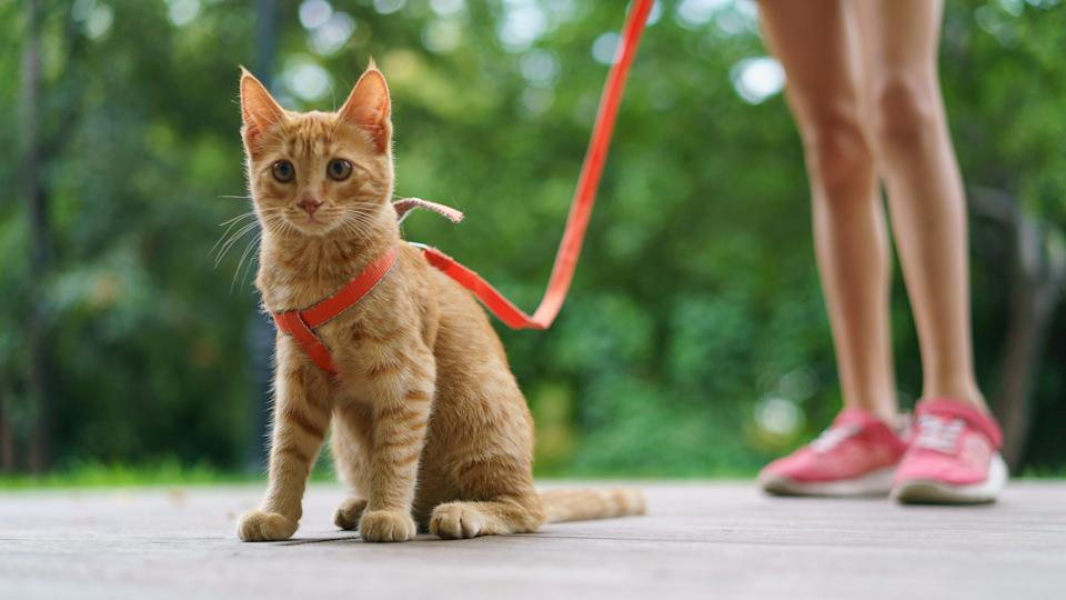 Portrait of the red kitten at the city street in summer day. Legs of a teenager girl-owner as background. Walking of a pet.