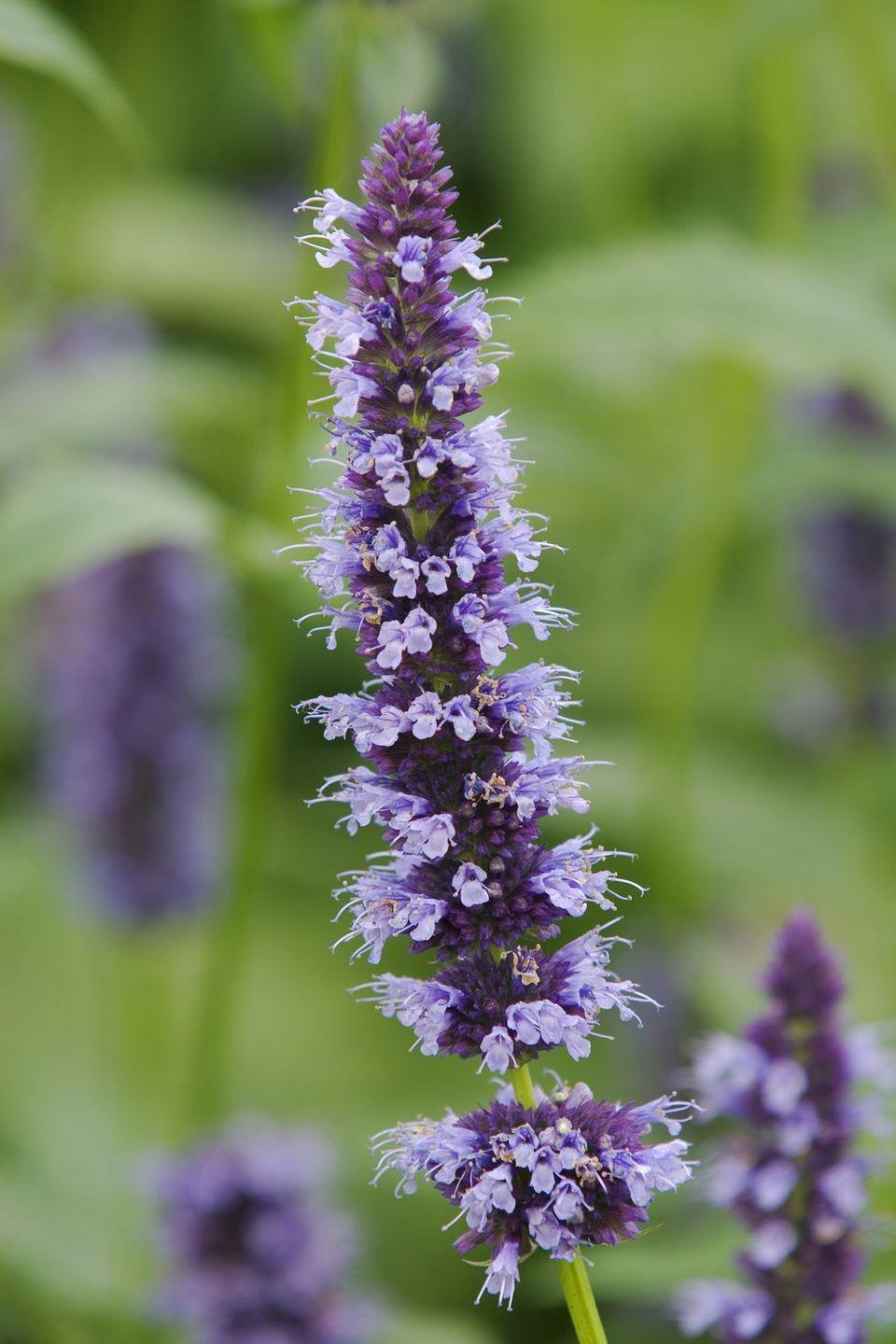 <p>This blue-purple bloom represents cleanliness and sacrifice. Anyone who struggles to declutter knows that these two concepts are completely intertwined. Besides, don't they look just like a feather duster? </p>