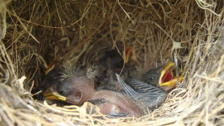 Darwin's finch nestlings are pictured in this handout photo