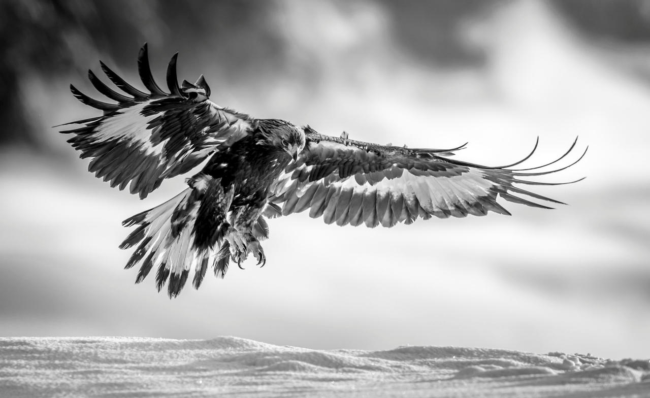 <p>This close-up monochrome image of a golden eagle just about to touch down on the ground was taken by Norwegian Bjorn Stuedal.<br /> Snapper Bjorn, 51, said: 'The picture was taken in Dalen, Telemark in Norway. I have spent quite some time in this area, capturing images of eagles. Norway has around 2000 of this large bird, and the Telemark region is one of the best places to photograph it.'<br /> (SWNS) </p>