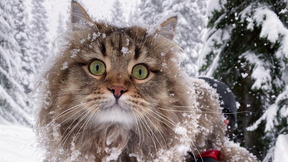Though Moose the long-haired cat is game for long hikes, he'd much rather ride in his owner's backpack on snowshoeing expeditions.