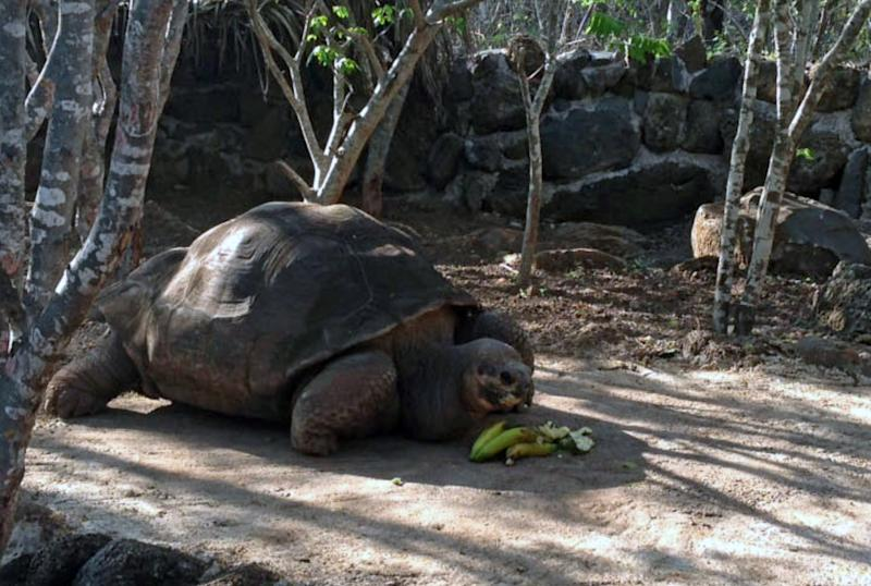 """Galapagos turtle """"Pepe the missionary"""" on February 7, 2014 at San Cristobal Island in the Galapagos, Ecuador"""
