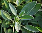 <p>Sage is characterized by wide, soft leaves often with hints of purple. It is used in many savory dishes with meat and is sometimes fried as a garnish. Sage attracts pollinators like bees to your garden, so it is wonderful to plant around fruit trees.</p>
