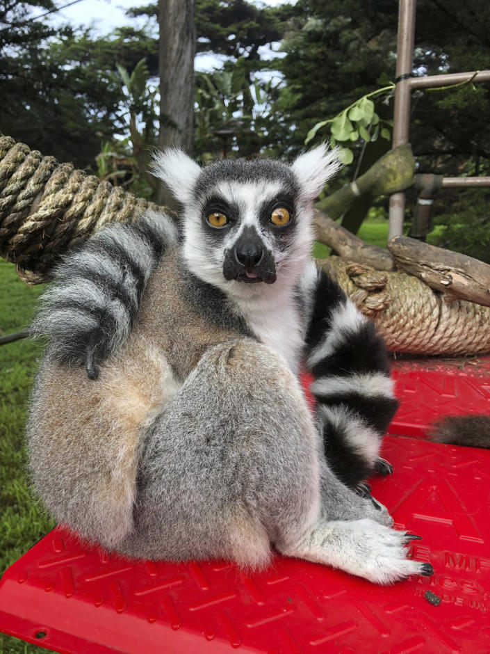 This Dec. 17, 2018, photo provided by the San Francisco Police courtesy of the San Francisco Zoo, shows a missing lemur, named Maki. The ring-tailed lemur was missing from the San Francisco Zoo after someone broke into an enclosure overnight and stole the endangered animal, police said Wednesday, Oct. 14, 2020. The 21-year-old male lemur was discovered missing shortly before the zoo opened to visitors, zoo and police officials said. They're seeking tips from the public in hopes of finding the lemur, explaining that Maki is an endangered animal that requires specialized care. (Marianne V. Hale/San Francisco Zoo via AP)