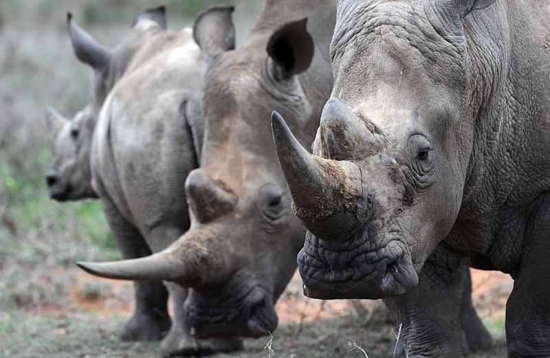 A team of scientists recreated the signature dung smell of territorial male and of female rhinos in heat, then spread the synthetic odours around the park to mimic fresh poo deposits (AFP Photo/TONY KARUMBA)