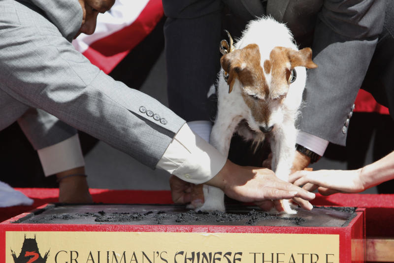"Canine star Uggie attends the pawprint ceremony for Uggie the dog at Grauman's Chinese Theatre on Monday June 25, 2012 in Los Angeles. Uggie, star of the Oscar-winning film ""The Artist,"" became the first dog to cement his paws outside of Grauman's Chinese Theatre. Uggie was celebrated during a ceremony Monday with a cake in the shape of a fire hydrant and golden bow-tie collar. He arrived in a fire truck. The event also marked Uggie's retirement from show business. (Photo by Joe Kohen/Invision/AP)"