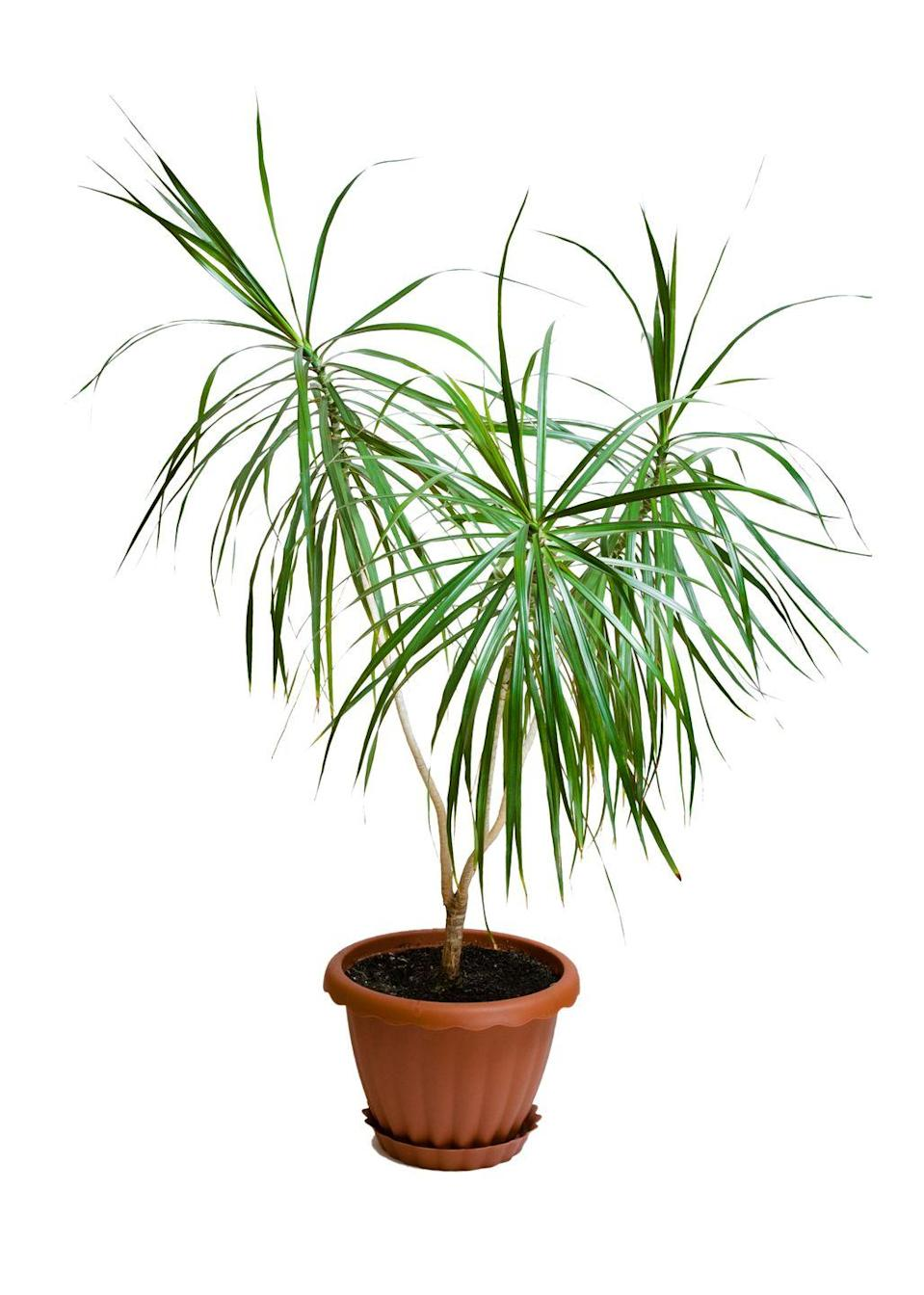 """<p>Also known as a """"dragon tree,"""" the marginata is super-easy to care for, a perfect fit for a marginally involved gardeners without pets. One of the top air-purifiers in NASA's research, the marginata only needs to be watered every two weeks or so.</p><p><a class=""""link rapid-noclick-resp"""" href=""""https://www.amazon.com/AMERICAN-PLANT-EXCHANGE-Dracena-Marginata/dp/B07GSLYQYM/?tag=syn-yahoo-20&ascsubtag=%5Bartid%7C2141.g.28325586%5Bsrc%7Cyahoo-us"""" rel=""""nofollow noopener"""" target=""""_blank"""" data-ylk=""""slk:SHOP MARGINATAS"""">SHOP MARGINATAS</a></p>"""