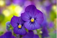 <p>These cool-season bloomers are the perfect flowers to brighten up your favorite antique pots with as they boast nearly 500 different varieties. With their compact size and long flowering time, violas are a versatile flower that look beautiful as an edging plant or in a window box. Be sure to plant violas when the weather is consistently cool in your region; they may love the sun, but they wilt under hot temperatures. They also only need to be watered once the soil completely dries out. </p>