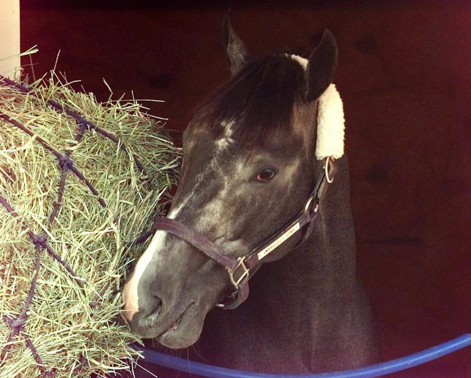 FILE - Kentucky Derby hopeful Unbridled's Song reaches for hay after being put in the stall following a morning run at Churchill Downs in Louisville, Ky., in this Saturday, April 27, 1996, file photo. Essential Quality is expected to be the first grey horse favored to win the Kentucky Derby in 25 years when Unbridled's Song was the top betting choice in in 1996. (AP Photo/Ed Reinke, File)