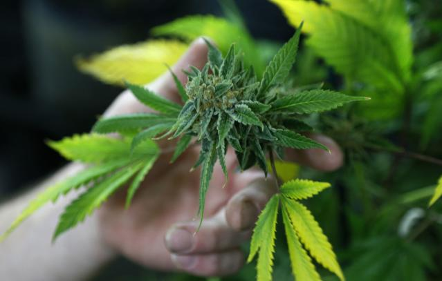 A fully budded marijuana plant ready for trimming is seen at the Botanacare marijuana store ahead of their grand opening on New Year's day in Northglenn, Colorado, in this December 31, 2013 file photo. The District of Columbia will take a step closer toward decriminalizing marijuana on January 15, 2014 with a move that will make smoking a joint in the U.S. capital a violation comparable to a parking ticket. REUTERS/Rick Wilking/Files (UNITED STATES - Tags: DRUGS SOCIETY)