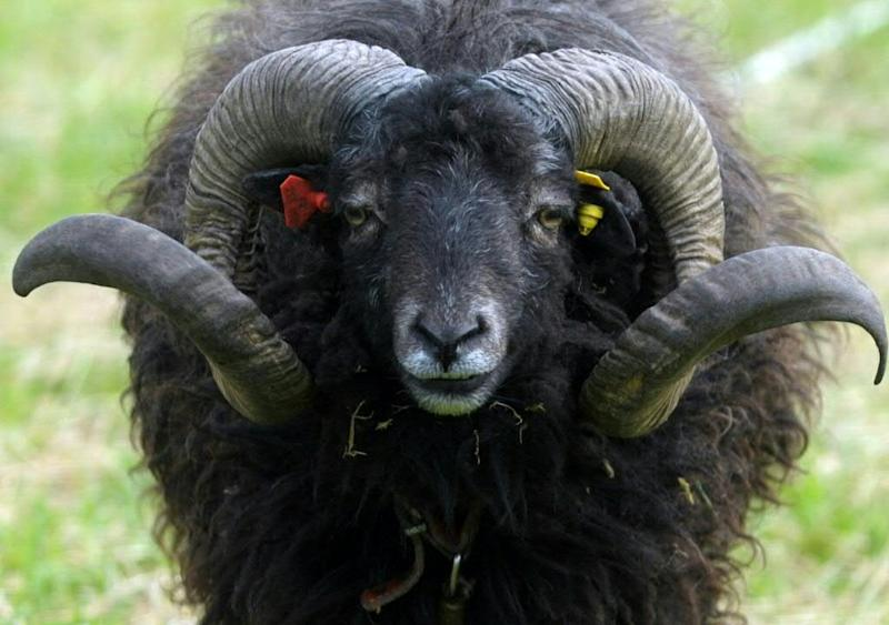 The sheep knocked the pensioner over before trampling him to death