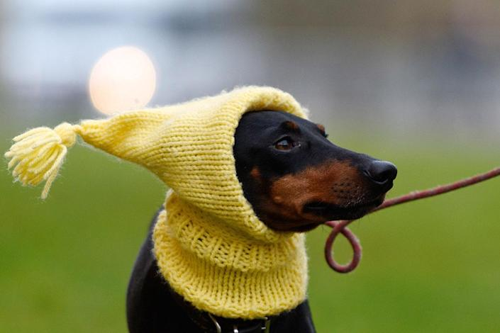 <p>Mable the Manchester Terrier arrives with her owner on the first day of Crufts Dog Show on March 10, 2016 in Birmingham, England. (Ben Pruchnie/Getty Images) </p>