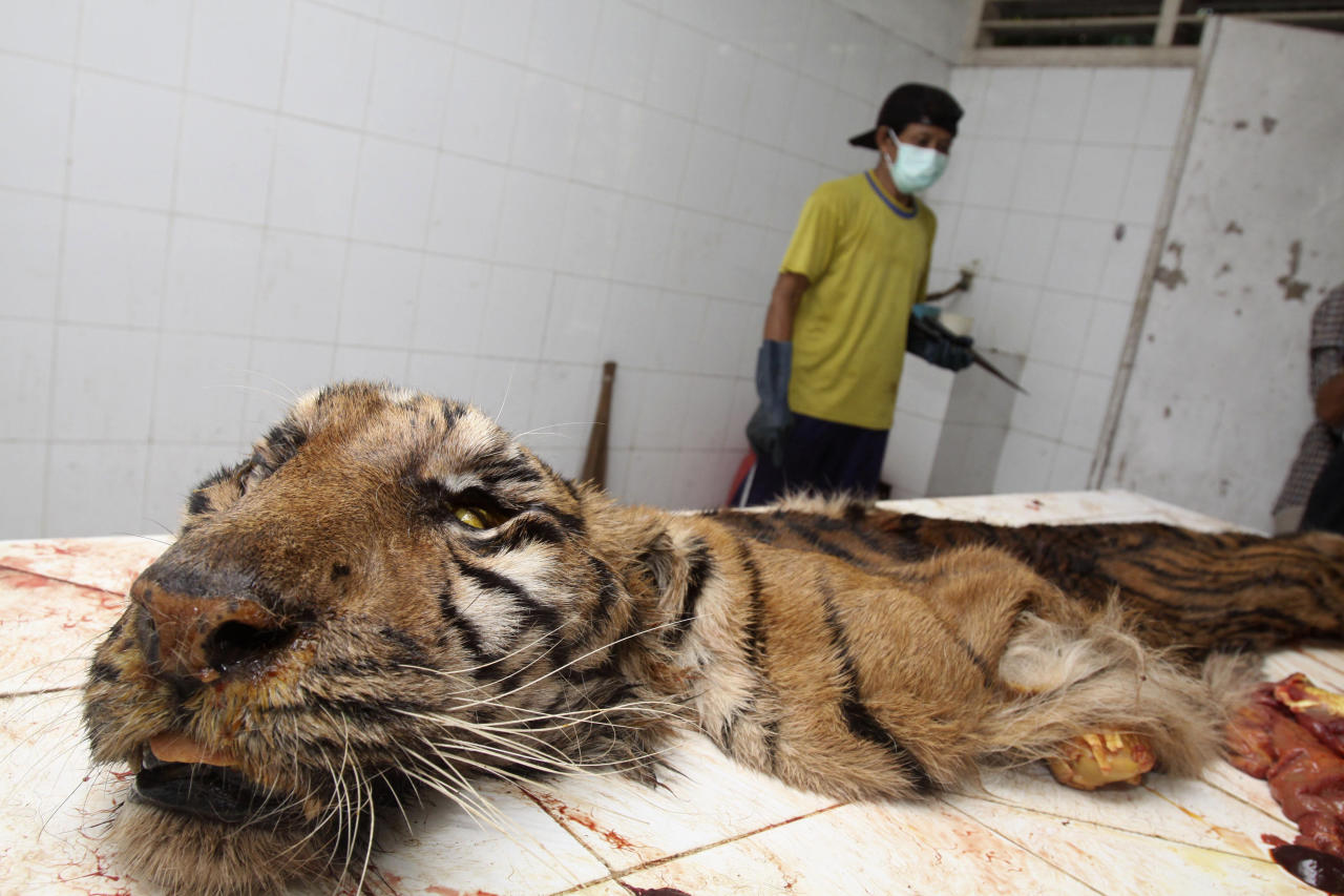 FILE - In this Aug. 14, 2010 file photo a worker skins a Sumatran tiger, found dead in its cage, to be preserved, at Surabaya Zoo in Surabaya, East Java, Indonesia. The country's biggest zoo, once boasting one of the most impressive and well cared for collections of animals in Southeast Asia, is struggling for its existence following reports of suspicious animal deaths and disappearances of endangered species. (AP Photo, File)