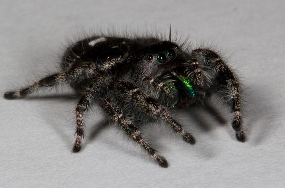 The jumping spider Phidippus audax.