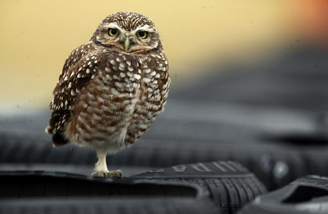 Motorcycle Racing - Argentina Motorcycle Grand Prix - MotoGP race - Termas de Rio Hondo, Argentina - April 8, 2018 - An owl stands on tires during the race. REUTERS/Marcos Brindicci