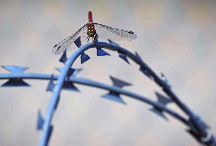 <p>A dragon fly rests on the barbed wire fence separating Serbia and Hungary, seen from a makeshift camp in Horgos, Serbia, Sept. 30, 2016. Hungarians will vote Sunday in a referendum which Prime Minister Viktor Orban hopes will give his government the popular support it seeks to oppose any future plans by the European Union to resettle asylum seekers among its member states. (Photo: Vadim Ghirda/AP)</p>