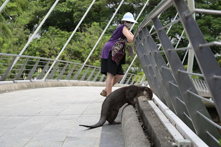 Otter peering over bridge with woman in background