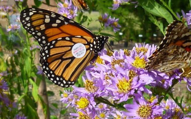 The presenceof the monarch butterflydeclined by 26% in theMexican hibernation forestsdue to a reduction of its habitat,according to a recent report byWWF-Telmex Telcel Foundation.