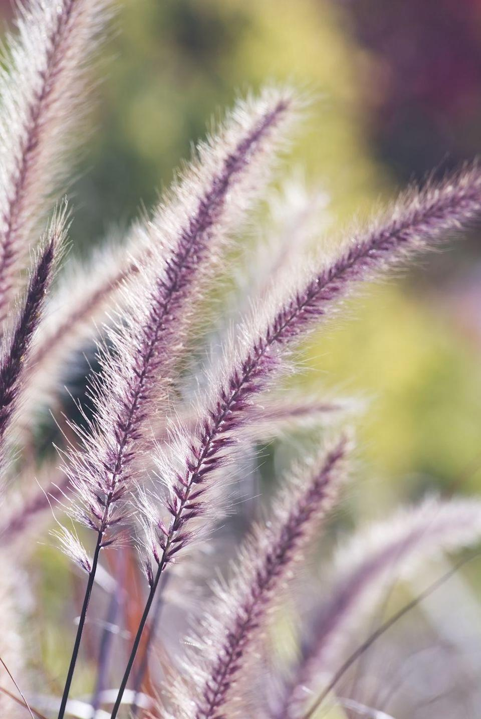 <p>Purple Fountain Grass creates a romantic environment with their soft purple hues and elegantly arched, fussy blooms. This ornamental grass doesn't like harsh winters, so it thrives best when planted only in very warm climates.</p><p><strong>When it blooms: </strong>July, but changes color through the fall</p><p><strong>Where to plant:</strong> Full sun</p><p><strong>When to plant: </strong>Anytime, particularly in spring</p><p><strong>USDA Hardiness Zones: </strong>9 or warmer</p>