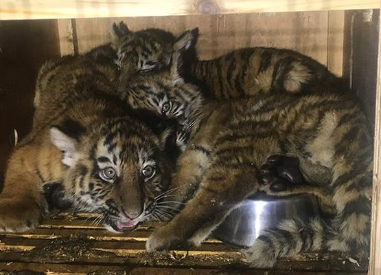 "A handout picture made available on March 18, 2017 by the NGO ""Animals Lebanon"" shows Siberian tiger cubs inside a crate at Beirut's airport after they were rescued, as they were on their way to a zoo in neighboring war-ravaged Syria. Animals Lebanon said Saturday that its members rescued the cubs earlier this week after they had spent more than a week cooped up in ""unacceptable"" conditions at the Beirut airport. The cubs flew into Lebanon from Ukraine on March 7 and were supposed to travel on to a zoo in neighboring Syria."