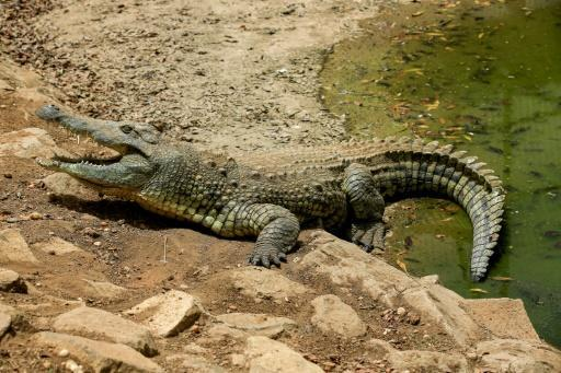 A Nile crocodile (Crocodylus niloticus) comes out the of the water