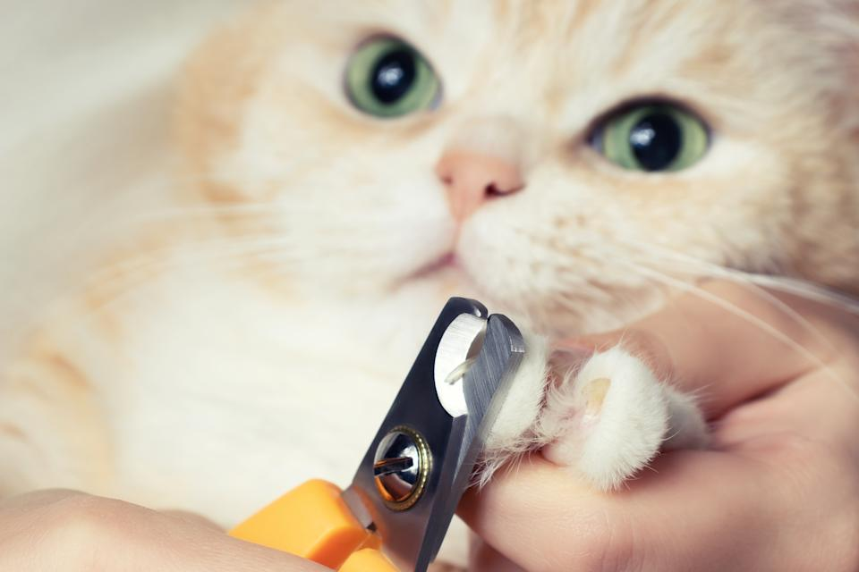 Cutting the claws of a cute creamy British cat. Pet care, grooming concept.