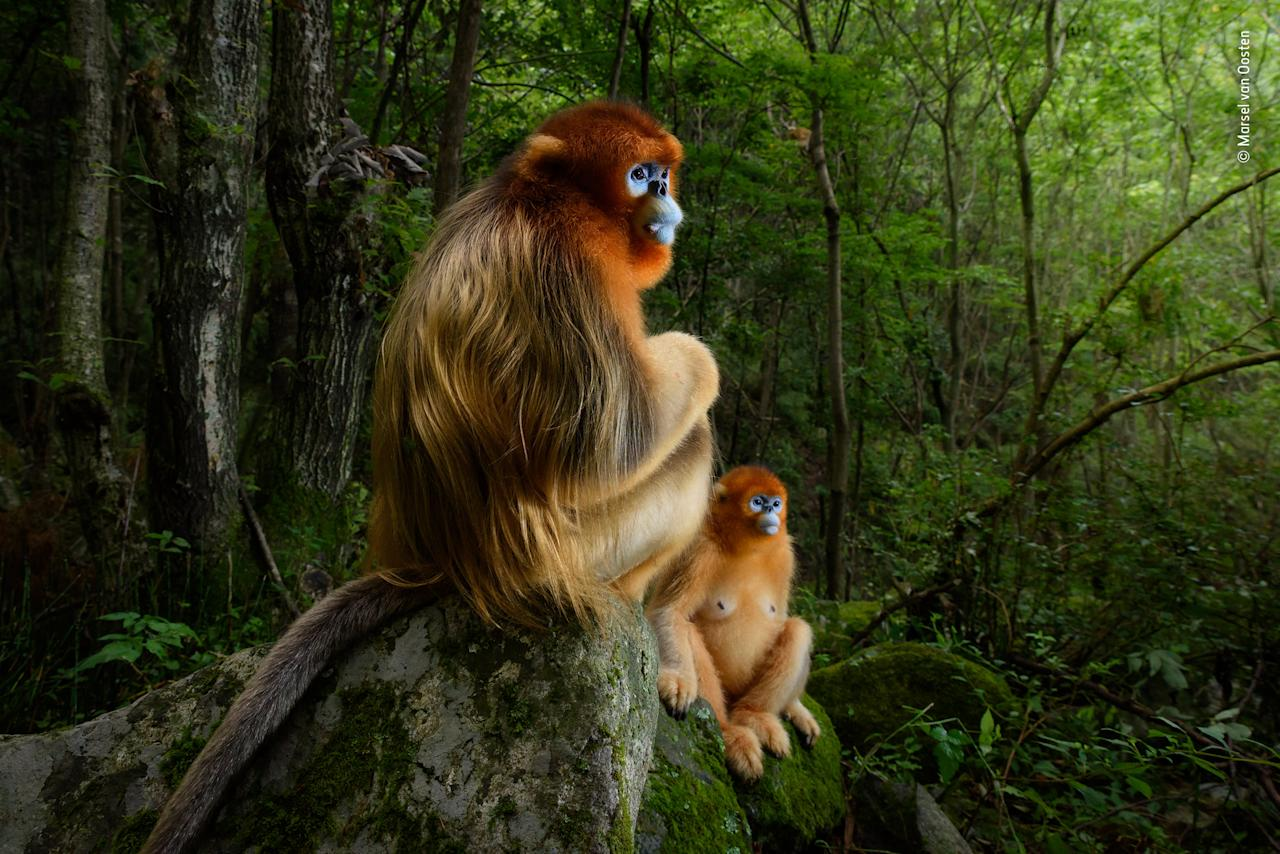<p>'The golden couple': A male Qinling golden snub-nosed monkey rests briefly on a stone seat. He has been joined by a female from his small group. Both are watching intently as an altercation takes place down the valley between the lead males of two other groups in the 50-strong troop. It's spring in the temperate forest of China's Qinling Mountains, the only place where these endangered monkeys live. (Wildlife Photographer of the Year/ Marsel van Oosten) </p>