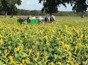 """<p>Come for the sunflowers, stay for the corn maze. And tractor train. And horse-drawn wagon rides. And...</p><p><a class=""""link rapid-noclick-resp"""" href=""""https://go.redirectingat.com?id=74968X1596630&url=https%3A%2F%2Fwww.tripadvisor.com%2FTourism-g29061-Augusta_Arkansas-Vacations.html&sref=https%3A%2F%2Fwww.countryliving.com%2Flife%2Ftravel%2Fg21937858%2Fsunflower-fields-near-me%2F"""" rel=""""nofollow noopener"""" target=""""_blank"""" data-ylk=""""slk:PLAN YOUR TRIP"""">PLAN YOUR TRIP</a></p>"""