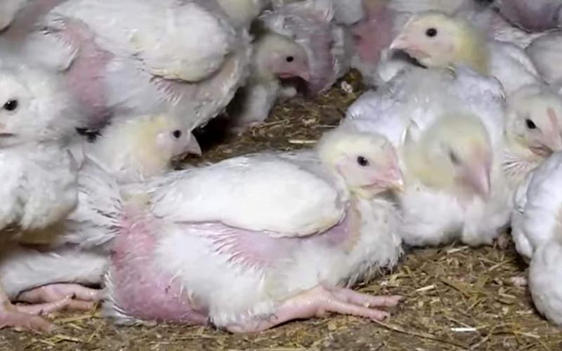 A still from the Animal Equality UK footage - Animal Equality UK