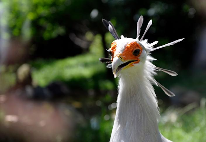 A secretary bird is pictured at the zooinAmneville, France, on July 8, 2013.