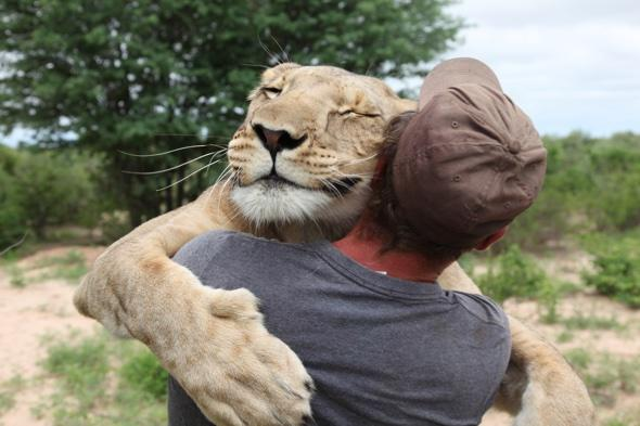 Sirga the lion taught to hunt by man that saved her Val Gruener