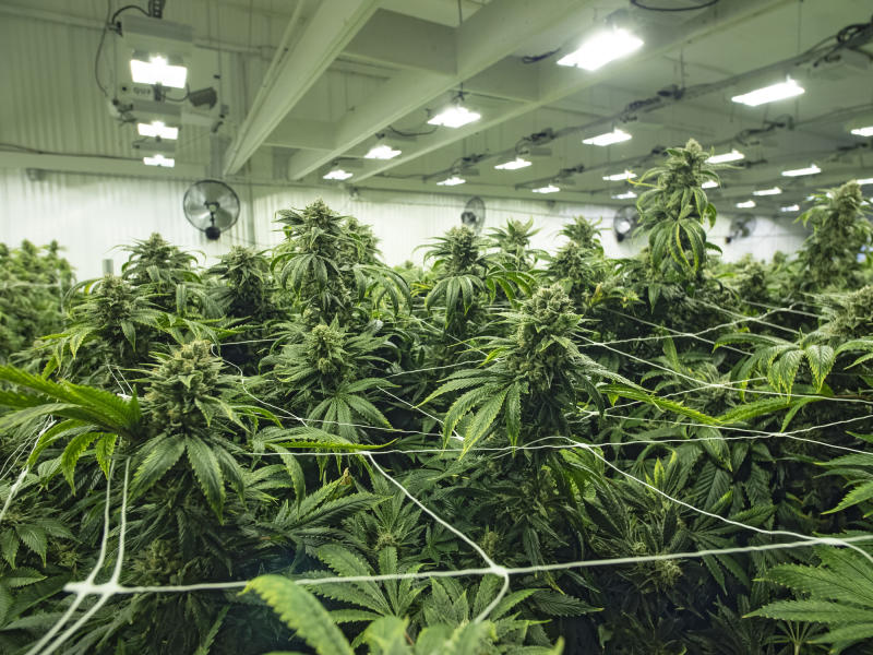 An up-close look at flowering cannabis plants in an indoor warehouse.