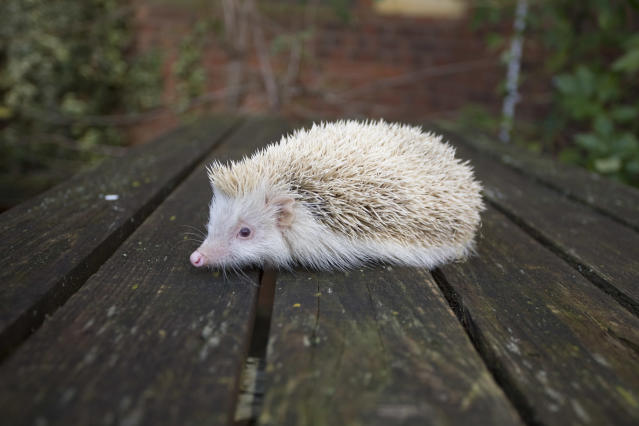 Alderney is the home of the rare blonde hedgehog.