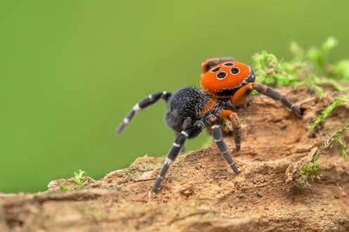 """<span class=""""caption"""">As the world warms, male ladybird spiders are hatching too early in the year to meet a mate.</span> <span class=""""attribution""""><span class=""""source"""">MF Photo / shutterstock</span></span>"""