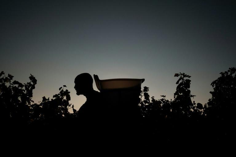 At work during the wine harvest in the Domaine Cheveau -- but extreme weather has taken a huge toll (AFP/JEFF PACHOUD)