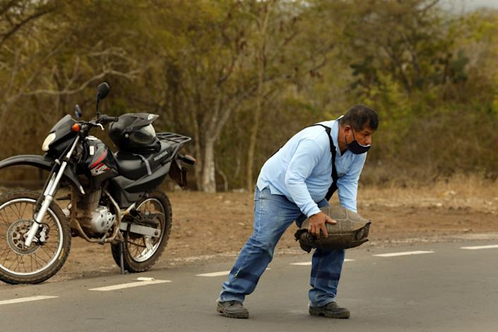 A local resident stops to remove a Galapagos tortoise from the road on the island of Santa Cruz.