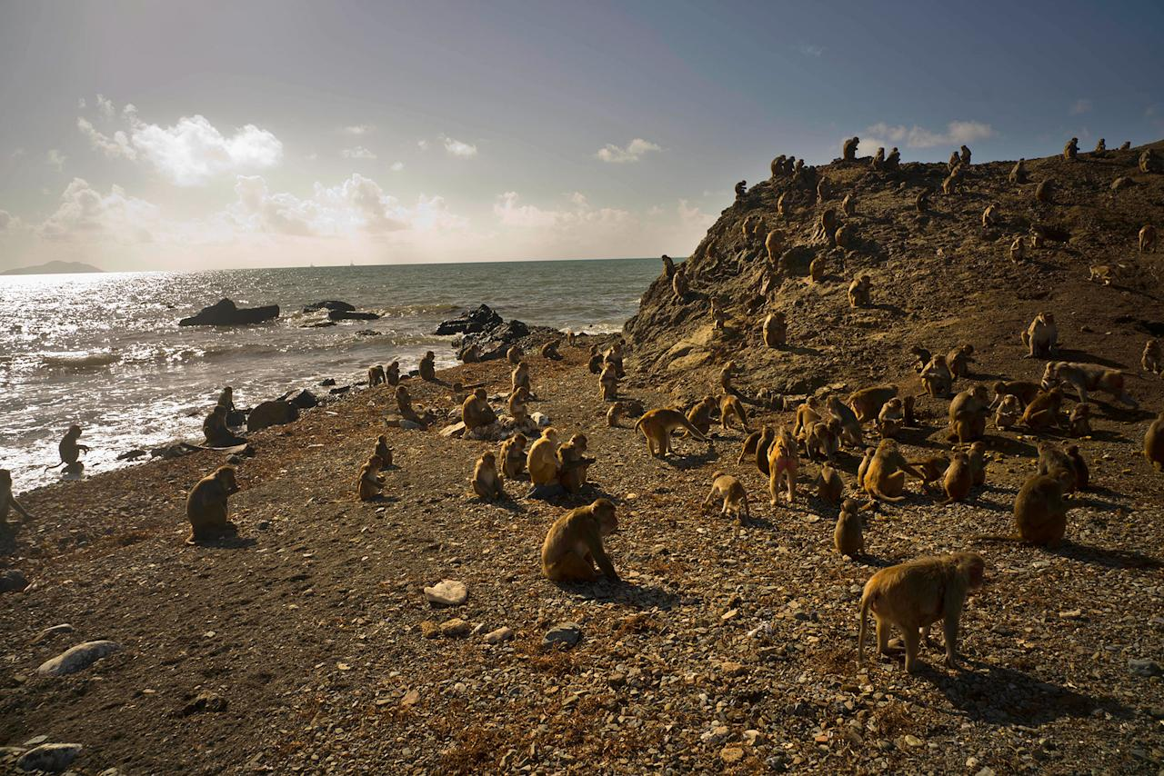 <p>Monkeys move about on Cayo Santiago, known as Monkey Island, in Puerto Rico on Oct. 4, 2017. One of the first places Hurricane Maria hit in the U.S. territory Sept. 20 was Monkey Island, a 40-acre outcropping off the east coast that is one of the world's most important sites for research into how primates think, socialize and evolve. (Photo: Ramon Espinosa/AP) </p>