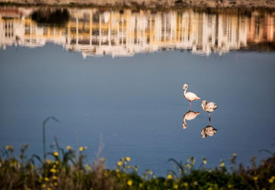 Flamingos nest in the salt pans outside Cagliari (Alamy/PA)