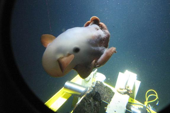 Missions by Alvin and other deep-sea submersibles have allowed scientists to discover new species of deep-dwelling creatures.