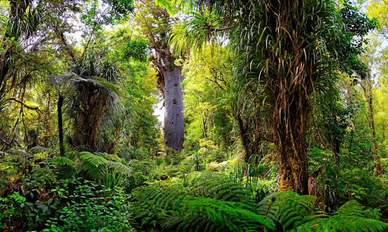 Tane Mahuta, or Lord of the Forest, the largest living kauri tree