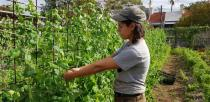 Farm Manager Julia Martignoni plucks snow pea off a vine at Pocket City Farms in inner Sydney
