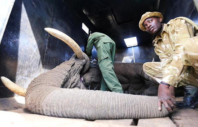<p>A Kenya Wildlife Service (KWS) veterinary monitor the breathing of a tranquillized elephant during a translocation exercise to Ithumba Camp in Tsavo East National Park, in Solio Ranch in Nyeri County, Kenya, Feb. 21, 2018. (Photo: Thomas Mukoya/Reuters) </p>