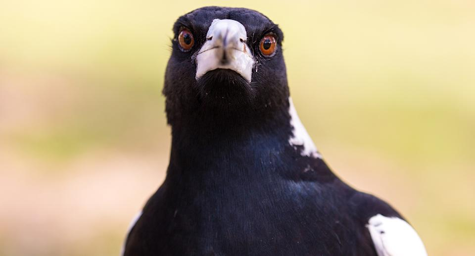 An Australian magpie. Source: Getty Images