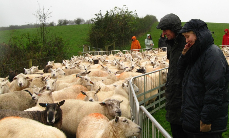 Two women watch sheep being corralled.