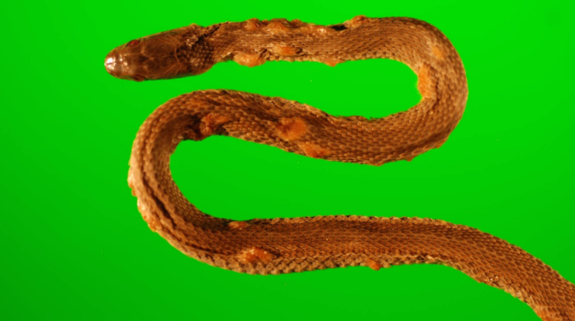 A northern water snake (Nerodia sipedon), which was captured in 2009 from an island in western Lake Erie, Ohio. The snake has crusty and thickened scales over raised blisters, a result of snake fungal disease.