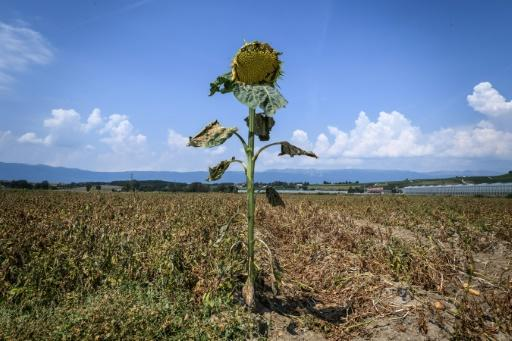 A parched sunflower with dried leaves in western Switzerland
