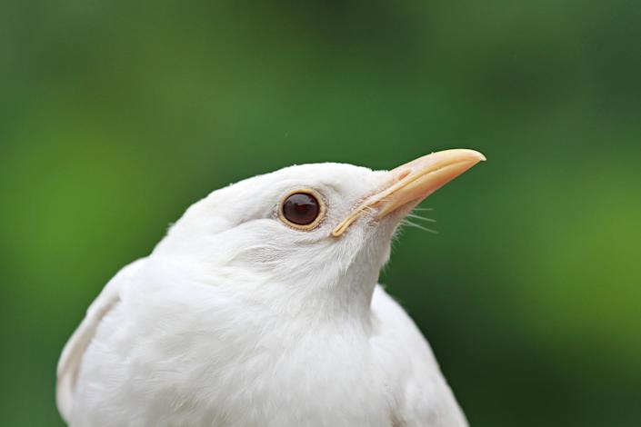 A rescued albino blackbird is pictured at the animal rescue station in Bartosovice, Moravia. There are at maximum only several dozen albino blackbirds in Europe. In nature, most of them do not survive because others attack them.